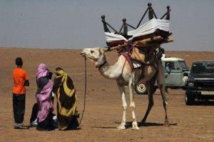 Camello engalanado